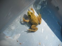 Frog in our pool Summer 2011