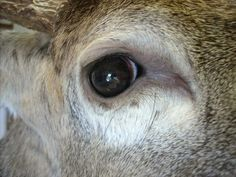 Deer Eyes, Whitetail Deer Pictures, Taxidermy Display, Deer Mounts, Photos Of Eyes, White Tail, Caves, Hunting, Bird