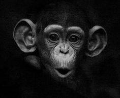 Baby Chimpanzee by BorDark Primates, Animals And Pets, Baby Animals, Cute Animals, Animals Images, Wild Animals, Mundo Animal, My Animal, Regard Animal