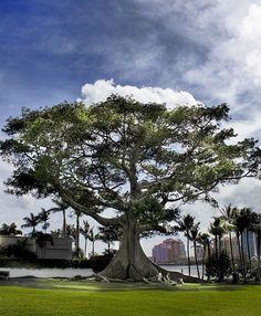 Ceiba pentandra - overall Inspiration Wall, Portrait Photographers, Flora, Finance, Yard, Clouds, Landscape, Outdoor, Beautiful