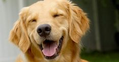 Dog Breeds Top 5 Signs That Your Dog is Happy - Who doesn't love happy dogs? We know when they are happy because their body language and voices tell us so. They have different barks for different Smiling Animals, Smiling Dogs, Funny Animals, Cute Animals, Funniest Animals, Wild Animals, Funny Dog Fails, Funny Dogs, Cute Dogs