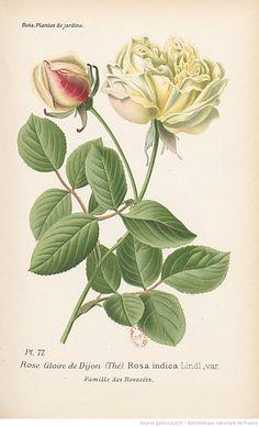 Rose Gloire de Dijon (Thé), Atlas des plantes de jardins et d'appartements exotiques et européennes... Planches, 1-160 / par D. Bois,... | 1896