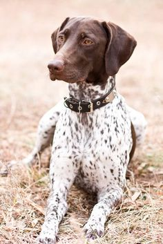 What a nice looking dog!  German Shorthaired Pointer