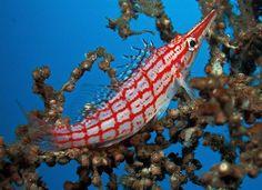 Longnose Hawkfish photo by doug deep Weird Sea Creatures, Ocean Creatures, Beautiful Creatures, Saltwater Fish Tanks, Saltwater Aquarium, Underwater Sea, Underwater Creatures, Colorful Fish, Tropical Fish