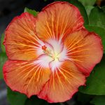 Exotic Hibiscus 'Old Spice'