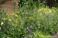 The planting in The M&G Garden is soft and evocative. The delicacy of these plant combinations gives this garden a cheerful and uplifting feel. Aquilegia chrysantha 'Yellow Queen' and Aquilegia vulgaris mingle with Acanthus mollis (Latifolius Group) 'Rue Ledan', Briza media 'Golden Bee', Geranium pyrenaicum 'Bill Wallis', Zizia aurea, Cardamine pratensis, Nectaroscordum siculum subsp. bulgaricum and Lunaria annua 'Chedglow'.