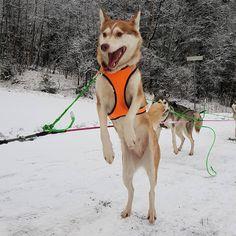 """80 likerklikk, 0 kommentarer – Running Minks Siberian Husky (@runningminks) på Instagram: """"Klar - ferdig -gå !!! 😂  Auf die Plätze , vertig , los !!!!😂 🐾 🐾 #siberianhuskies #runningminks…"""" Tears Of Joy, Husky, Face, Dogs, Animals, Animales, Animaux, Doggies, Animal"""
