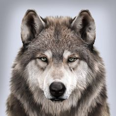 Wolf's portrait, Massimo Righi - Tattoo - Wolf Photos, Wolf Pictures, Animal Pictures, Nature Photos, Beautiful Wolves, Animals Beautiful, Cute Animals, Wild Animals, Baby Animals