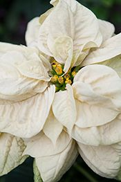 Winter Rose™ Eggnog™ poinsettia (Euphorbia pulcherrima 'PER1125') is noted for pink-tinged, ivory-white, recurved and puckered flower bracts borne on sturdy, upright stems. Grow in full sun and water whenever the leaves begin to wilt and the soil is dry. Poinsettias are infamous for wilting if the soils are too wet, so test the moisture content of the pot before adding more water.