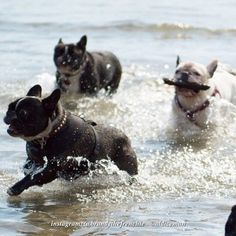 Frenchies love water (just can't swim
