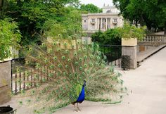 Peacock Indian (male) Royal Baths Park in Warsaw