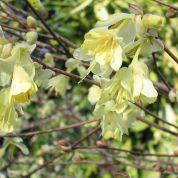 Schijnhazelaar (Corylopsis pauciflora )  favoriet van Romke van der Kaa.  Groeit langzaam, bloeit in maart/april op kale takken, mooie herfstkleur  misschien voor in de schaduwborder?