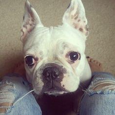 frenchie <3 instagram - libellule250