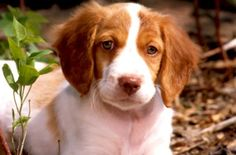 Brittany Spaniel, reminds me of Miss Daisy ;) @kellyfelker