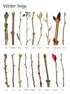 Winter twigs and buds - ash, alder, beech, horse chestnut, rowan, hazel, holly, dog rose, hawthorn, sycamore, blackthorn, field maple, birch, elder, oak, lime, lilac, larch, elm