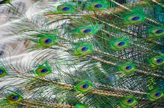 peacock tail - Tìm với Google