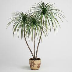 zimmerpflanzen für dunkle drachenbaum exotisch räume