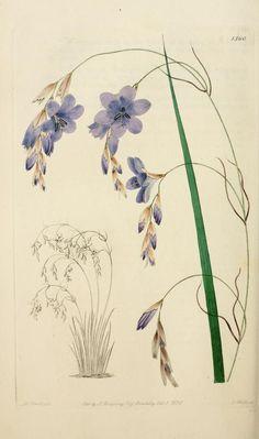 Sparaxis  Edwards' botanical register