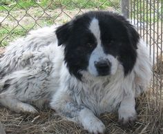 Homeward Trails Animal Rescue - We want to help a dog in need of rescue? Aiden was living in a mud pit at a hoarder's home until Animal control rescued him & over 60 other dogs. We'd like to rescue Aiden but in order to do so, we need sponsors & a foster home first.