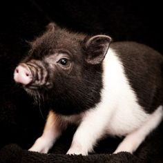 Pigs for Sale - All of our mini piglets come to you fixed, vet checked and health certified to fly by USDA certified vet, health guarantee. Click here.