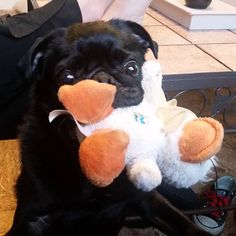 July 5th entry in #scribblepugphotochallenge - favorite toy (swipe to see both of us) I love my stinky duck - #Padme and I can't live without my R2D2 - #Jasmine #pug #blackpug #seniorpug #puglife #starwarspug #onelikessofttoysonelikeshardtoys http://misstagram.com/ipost/1552585605480183502/?code=BWL5GHaB_bO