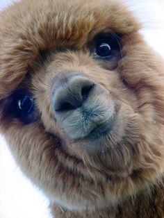 Sauk Cree kAlpaca near Madison, Wisconsin Happy Animals, Farm Animals, Cute Animals, Cute Animal Photos, Animal Pictures, Alpacas, Alpaca My Bags, Cute Alpaca, Silly Dogs