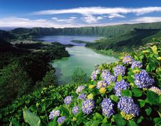 Wild hydrangeas in the Azores, Portugal
