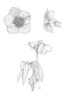 Helleborus viridis - Adele Pelizzoni