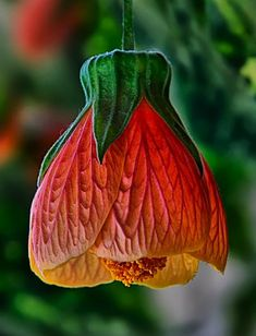✯ Abutilon or Parlor Maple flower