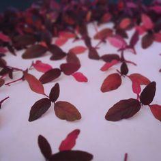 Amaranthe Les pousses d'Amaranthe sont finalement prêtes pour le resto! #microgreens #amaranth #pink #vitamins #local #bio #colorful #growingup #food #lecoupmonte #repentigny