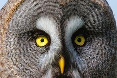 Portrait owl by AlbertFitskie #animals #animal #pet #pets #animales #animallovers #photooftheday #amazing #picoftheday