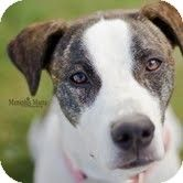 Pearl - Young- Female - Terrier/Hound mix - Southern, NH - Happy Dogs of New England - http://www.adoptapet.com/pet/9748146-southern-new-hampshire-terrier-unknown-type-medium-mix - https://www.facebook.com/HappyDogsofNewEngland - http://happydogsusa.org/adoptable-pets