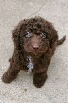 """Labradoodle has been on my """"wishlist"""" board forever- now I have this sweetie to call my own!! Chocolate Mini Australian Labradoodle <3"""