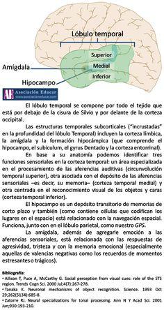 Infografía Neurociencias: Lóbulo temporal | Asociación Educar