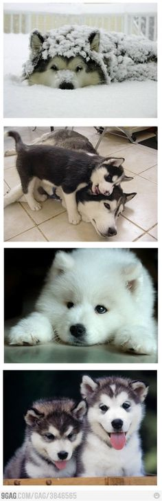 Such cute huskies!!!!!!! Someday I will have another one..maybe two!!:)