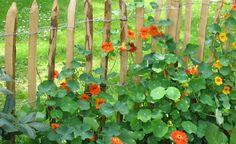Einen Staketenzaun aufstellen - Immer öfter sieht man in den Gärten die einfachen, aber optisch sehr ansprechenden Holzzäune, die oft schon nach einem Jahr ihre typisch graue Patina zeigen. Wir zeigen Ihnen, wie Sie einen solchen Staketenzaun selbst aufstellen.