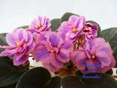 Bridal Bouquet (LLG/P.Sorano) Полумахровые коралловые звезды, обильно усыпанные синим фэнтази в виде точек и штрихов, с центральной синей полосой вдоль каждого лепестка и темно-коралловым ярким глазком в центре цветка. Стандартное компактное растение.