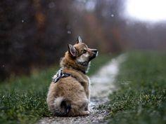 Hunde - Felli Photography - Vicky Fellinger Dog Photography, Husky, Corgi, Fox, Instagram, Animals, Puppys, Photo Shoot, Corgis