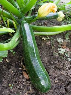 What you need to know about growing zucchini #organic #gardening