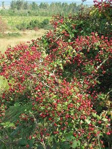 How to Make Hawthorne Berry Syrup.  Hawthorne berry syrup can be used as a heart tonic, and according to Nutrition Science News, several studies have proven that hawthorne can produce significant improvements in early stage heart failure.