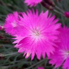 Pink Dianthus,  2014