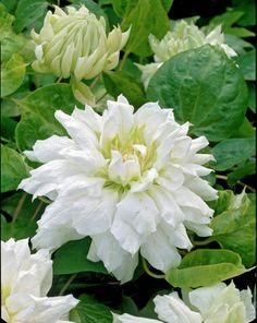 Clematis Duchess of Edinburgh Plants Flowers Very Beautiful Flowers, Beautiful Gardens, Moon Garden, Dream Garden, Outdoor Plants, Garden Plants, White Flowers, Love Flowers, Clematis Vine