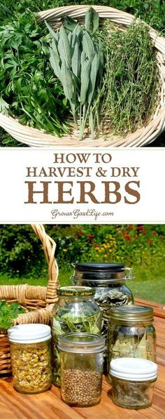 There are many ways to dry herbs so that you can enjoy them all year. Learn when to harvest and how to dry herbs to preserve their essential oils for the greatest flavor intensity and medicinal properties. garden How to Harvest and Dry Herbs for Storage Healing Herbs, Medicinal Plants, Organic Gardening, Gardening Tips, Vegetable Gardening, Flower Gardening, Pallet Gardening, Kitchen Gardening, Fairy Gardening
