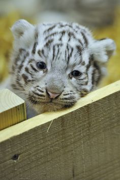 this white tiger cub is so little that it has one lazy eye! so adorable!!