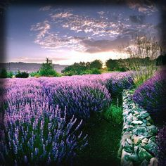 Matanzas Creek Winery in Santa Rosa, CA. A perfect spot to go taste wine and see blooming lavender in June.