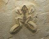 Fossil Frog - Schleie (Tinca).jpg