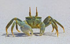 Horn-eyed ghost crab by John Dickens, via 500px  Camera Canon EOS 60D  Focal Length 175mm  Shutter Speed 1/250 sec  Aperture f/14  ISO/Film 100  Category Animals  Uploaded 1 day ago  Taken January 28th 2013  Copyright John Dickens