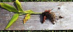 Even in cold climates, it's easy to grow a turmeric plant in a container for medicinal and culinary use. Learn how to grow turmeric at home in pots - it's easy!