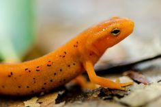 Eastern Red-spotted Newt  #animal #eastern #red-spotted #newt