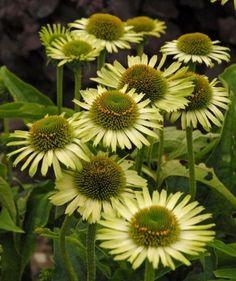 Black Lace Elderberry, Sun Loving Plants, Bloom, Moon Garden, Plant Drawing, Small Gardens, Summer Garden, Green Flowers, Flower Shape